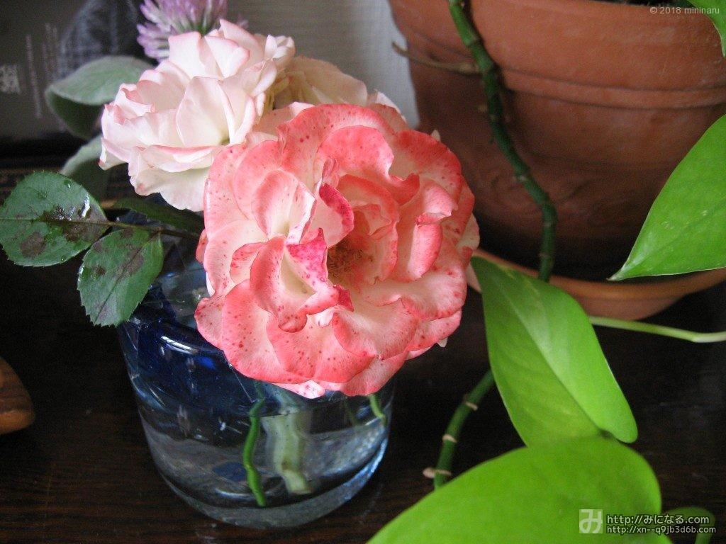 コップに飾った庭のバラ