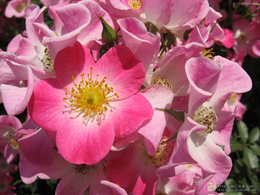 梅みたいなバラ