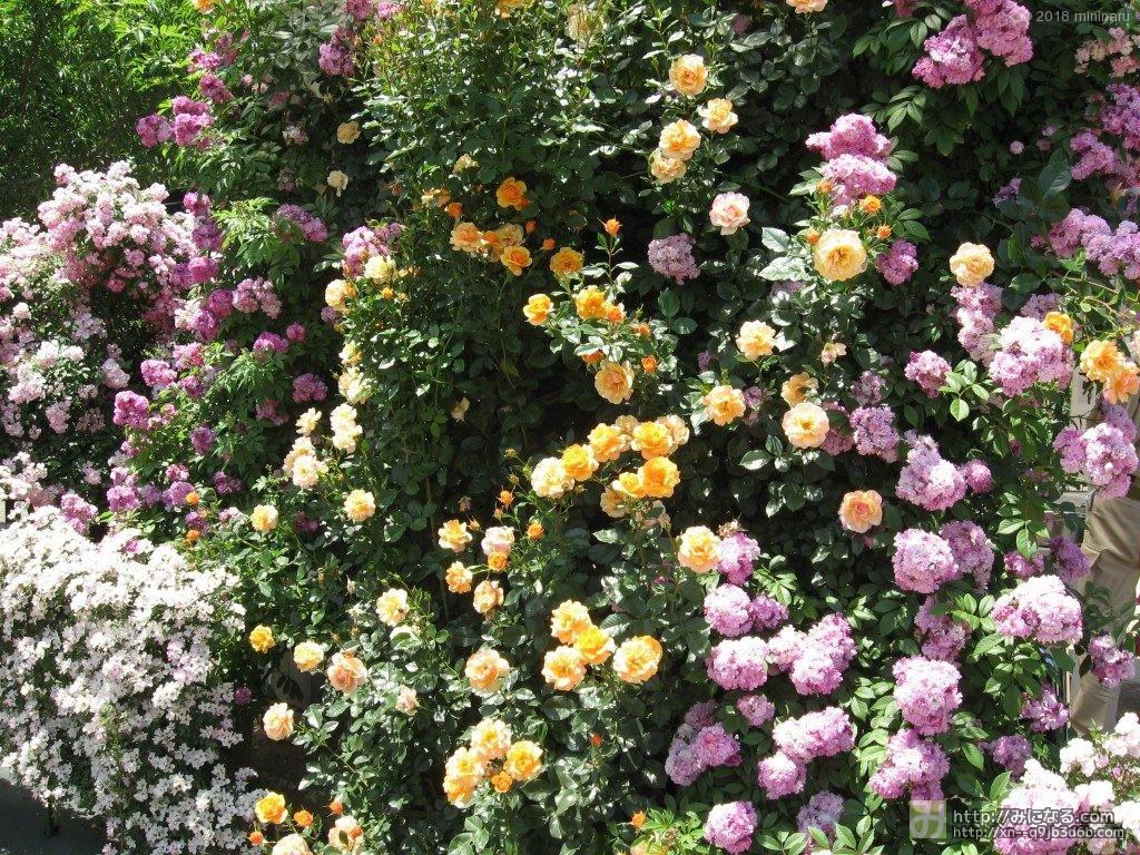 パープルとオレンジのバラ